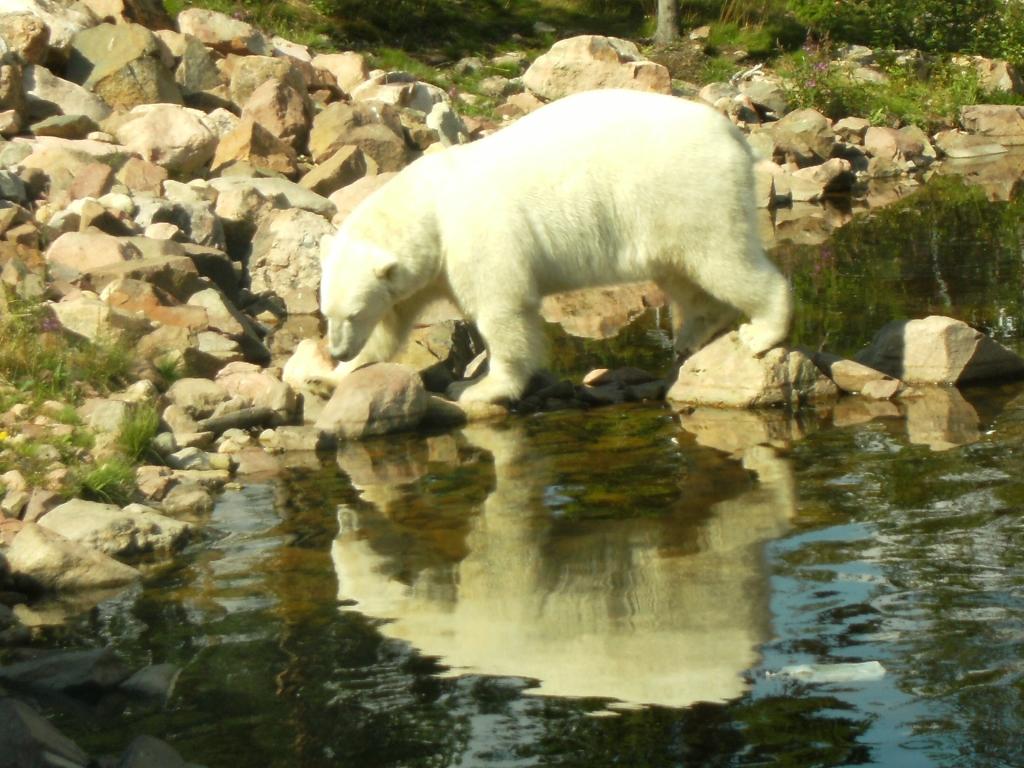 polarbear in Grönklitt - isbjörn i Grönklitt 2011