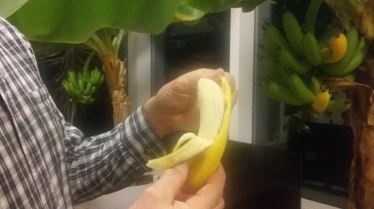 bananträden ger frukt